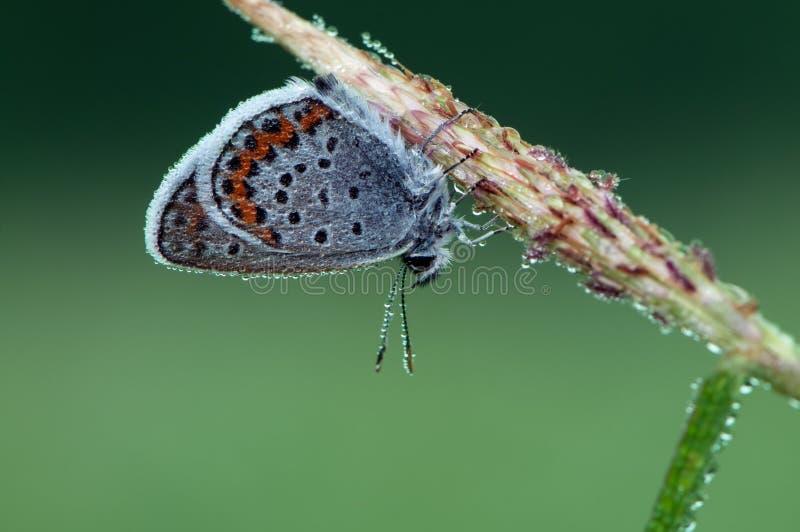 Le papillon bleu Polyommatus qu'Icare a couvert de rosée se repose sur l'herbe sèche images stock