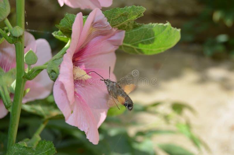 Le papillon boit du nectar dans une mauve rose de fleur un jour ensoleillé photos stock