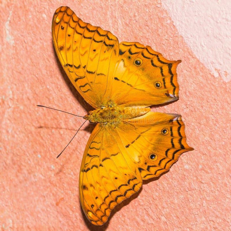 Le papillon commun de croiseur images libres de droits