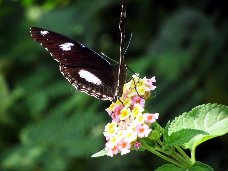 Le papillon de corneille images stock