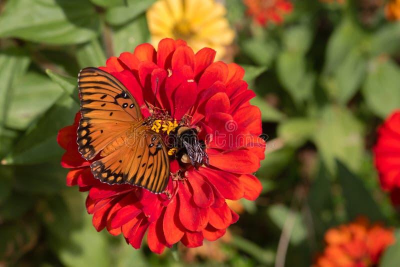 Le papillon de fritillaire de Golfe et gaffent l'abeille partageant la fleur rouge de Zinnia photos stock