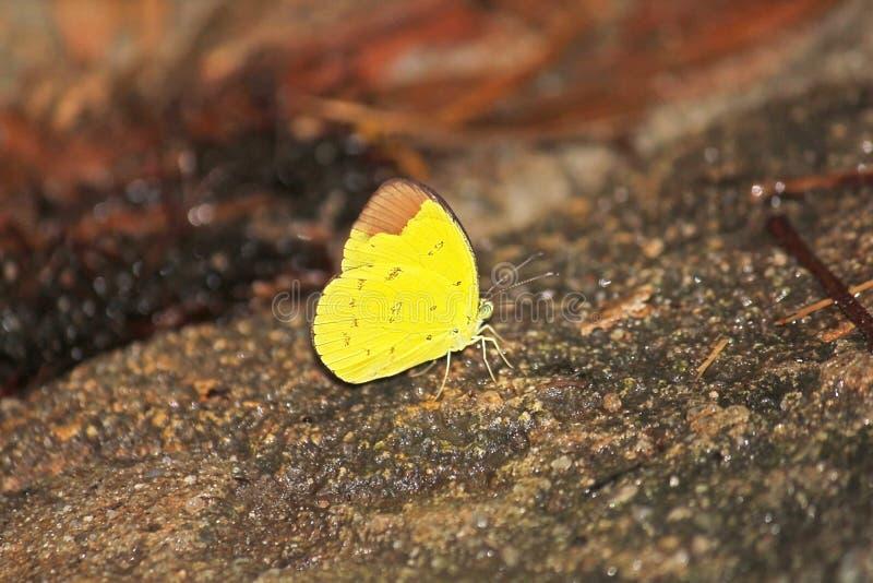 Le papillon de jaune d'herbe de colline est sur une roche photographie stock libre de droits