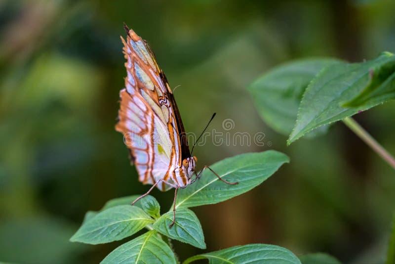 Le papillon de malachite, stelenes de Siproeta est un papillon brosse-aux pieds neotropical photos libres de droits