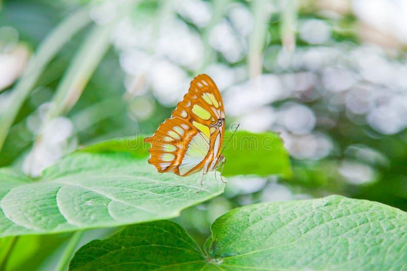 Le papillon de malachite sur la feuille image stock