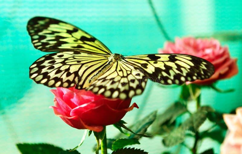 Le papillon de papier de cerf-volant (leuconoe d'idée) sur s'est levé photographie stock