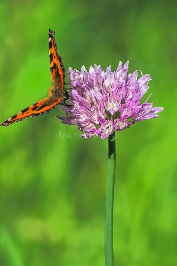 Le papillon de tortue sur la ciboulette d'une fleur, se ferment  image libre de droits