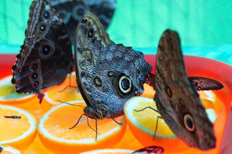 Le papillon exotique Caligo mangent des oranges photo libre de droits