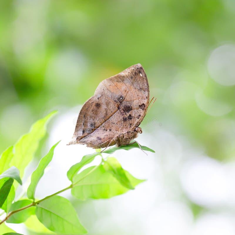 Le papillon indien de feuille exactement mêmes aiment une feuille sèche photographie stock libre de droits
