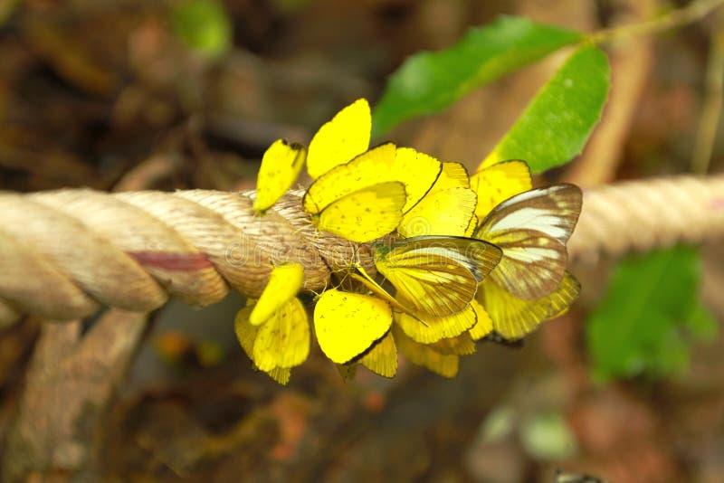 Le papillon jaune sont sur la longue corde avec le fond mou Amathusiidae image stock