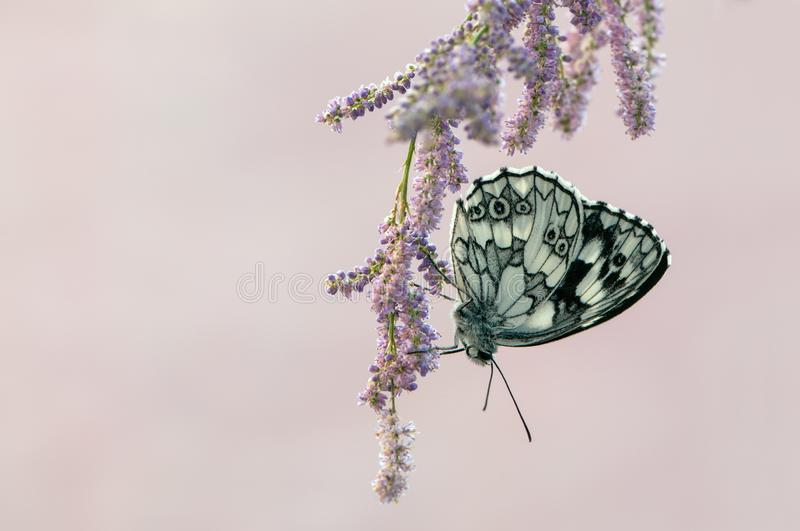 Le papillon Melanargy Galatea se repose sur une fleur rose de champ photographie stock
