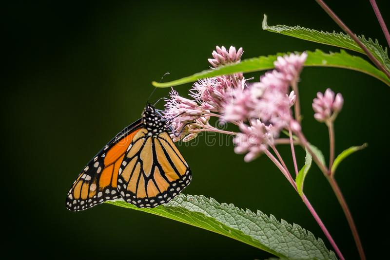 Le papillon monarque Danaus plexippus repose sur une fleur de Joe Pye Weed Eutrochium purpureum photo stock