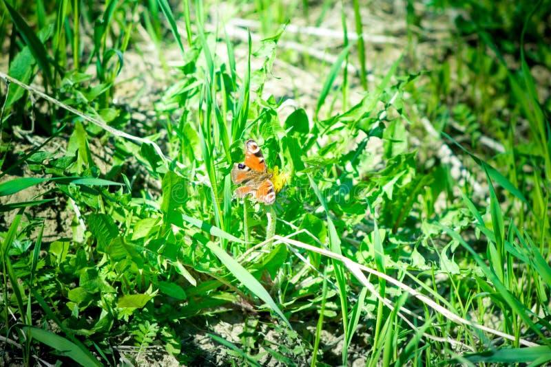 Le papillon moyen est orange avec les cercles noirs et blancs sur l'herbe verte photographie stock libre de droits