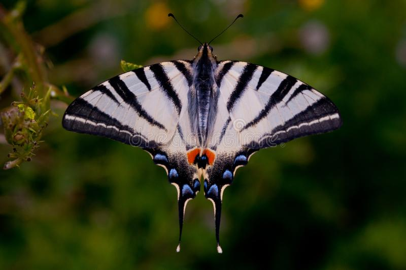 Le papillon, nature, fleur, nature sauvage, papillons dansent, été photographie stock libre de droits