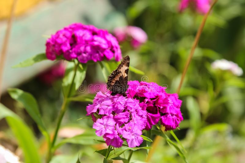 Le papillon pollinise le phlox de fleurs photo stock
