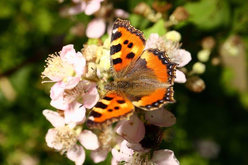 Le papillon rassemble le nectar sur le jardin Blackberry Fin vers le haut photographie stock libre de droits