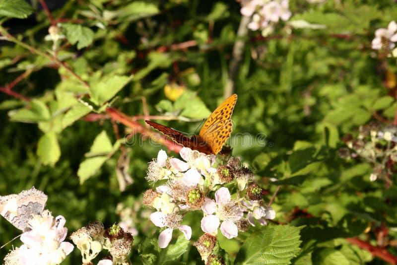 Le papillon rassemble le nectar sur le jardin Blackberry Fin vers le haut images stock