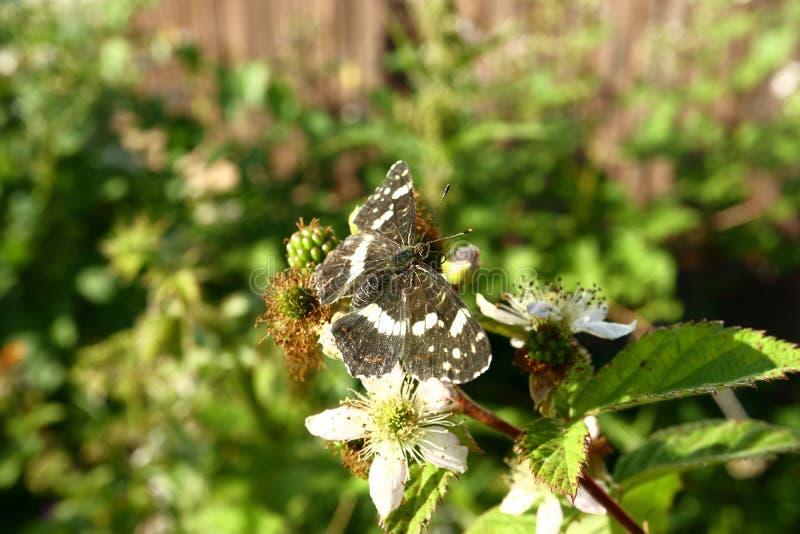Le papillon rassemble le nectar sur le jardin Blackberry Fin vers le haut image libre de droits