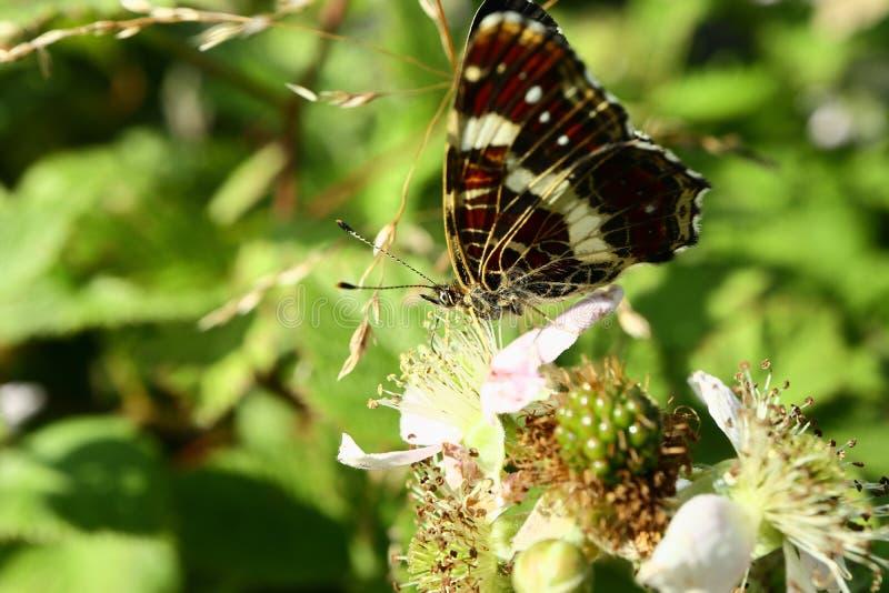 Le papillon rassemble le nectar sur le jardin Blackberry Fin vers le haut photo stock