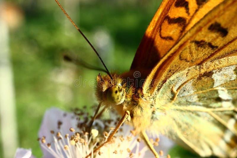Le papillon rassemble le nectar sur le jardin Blackberry Fin vers le haut photos stock
