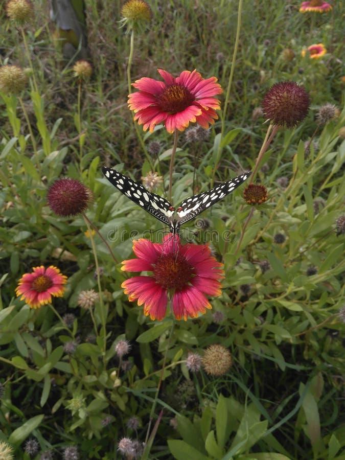 Le papillon sélectionnent le pollen la fleur photographie stock libre de droits