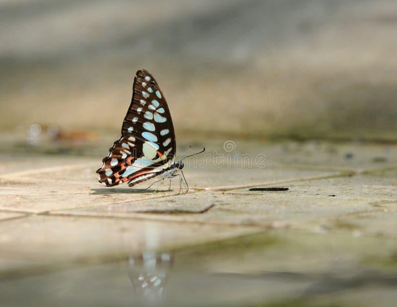 Download Le Papillon Se Rappellent La Jonction Photo stock - Image du geai, commun: 45366100