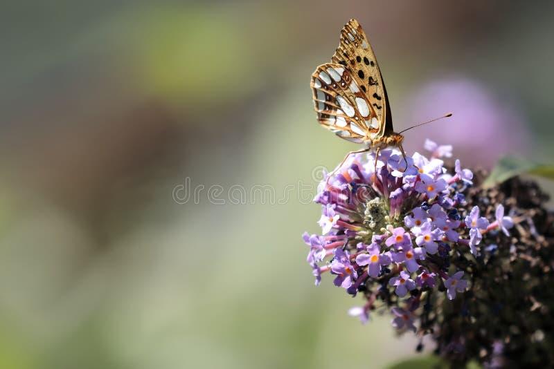 Le papillon Siproeta de malachite stelenessucking le nectar du photo libre de droits