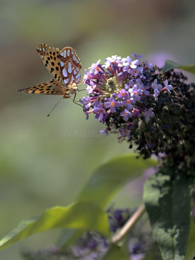 Le papillon Siproeta de malachite stelenessucking le nectar du photos stock