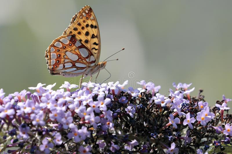 Le papillon Siproeta de malachite stelenessucking le nectar du photos libres de droits