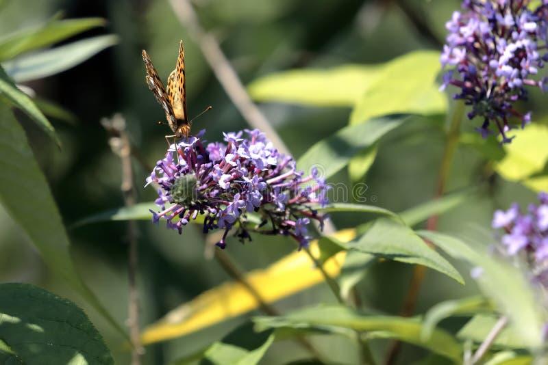Le papillon Siproeta de malachite stelenessucking le nectar du image libre de droits