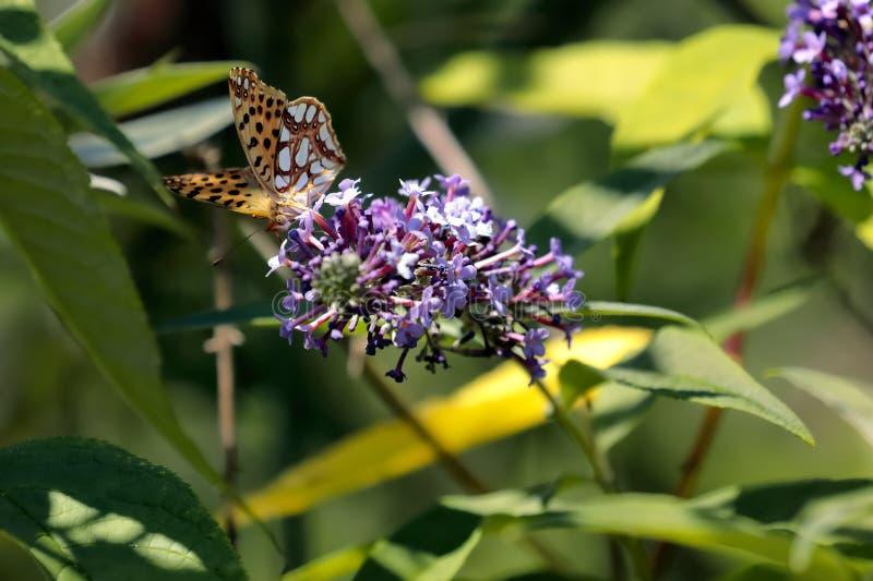 Le papillon Siproeta de malachite stelenessucking le nectar du images libres de droits