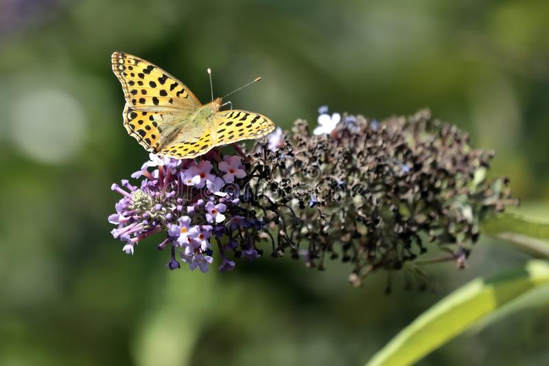 Le papillon Siproeta de malachite stelenessucking le nectar du photographie stock