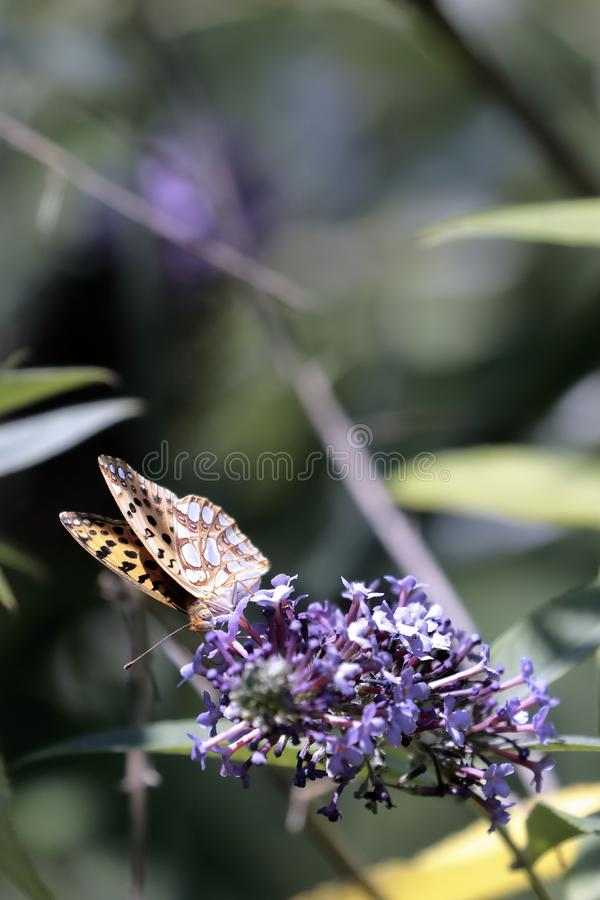 Le papillon Siproeta de malachite stelenessucking le nectar du photo stock
