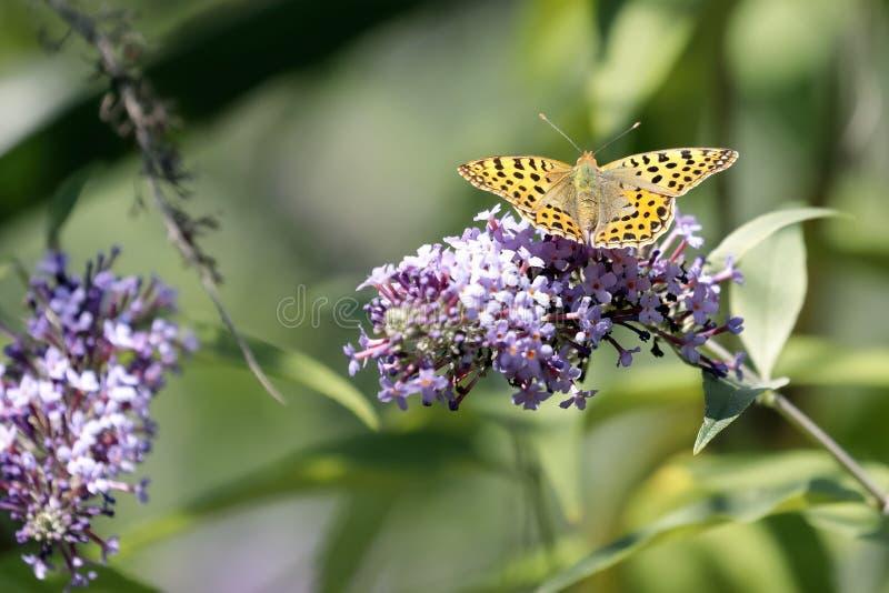 Le papillon Siproeta de malachite stelenessucking le nectar du photographie stock libre de droits