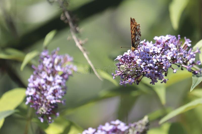Le papillon Siproeta de malachite stelenessucking le nectar du images stock