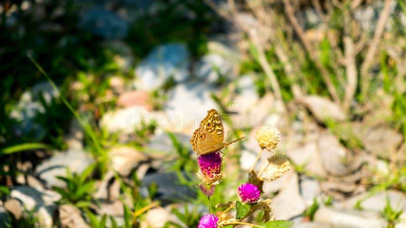 Le papillon suce l'eau douce des fleurs image stock