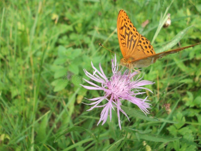 Le papillon sur la fleur images libres de droits