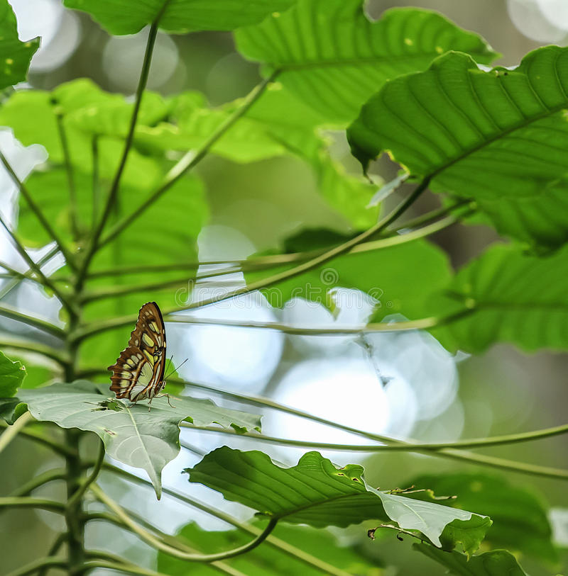 Le papillon vert de malachite se reposant dans lui est habitat naturel images libres de droits