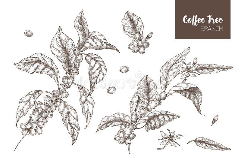 Le paquet de dessins botaniques élégants de caféier de coffea ou s'embranche avec des feuilles, des fleurs et des fruits mûrs d'i illustration libre de droits