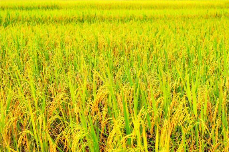 Le paradis de l'agriculteur est gisement d'or de riz scintillant loin et loin photographie stock libre de droits