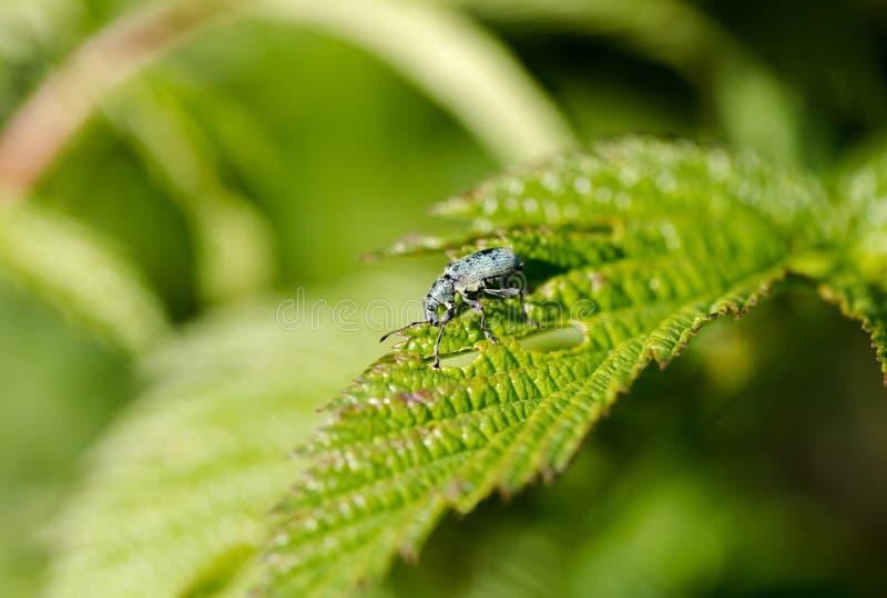 Le parasite de jardin, Otiorhynchus, mange la feuille verte, macro photo libre de droits