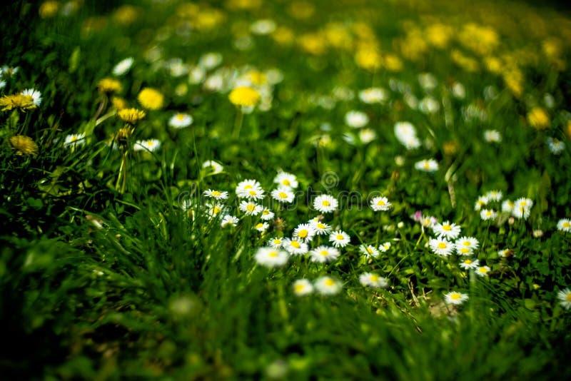 Le parc fleurit des perennis de Bellis photo stock