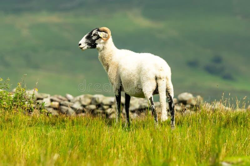 Le parement de brebis de Swaledale est parti dans le pré d'été dans les vallées de Yorkshire, Angleterre photo stock
