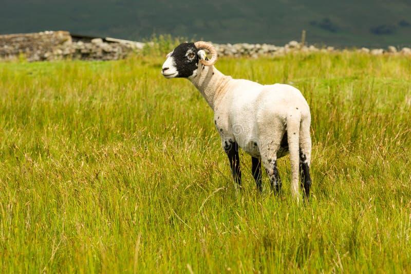 Le parement de brebis de Swaledale est parti dans le pré d'été dans les vallées de Yorkshire, Angleterre photos stock