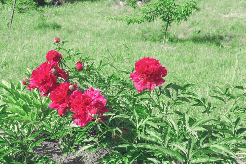 Le parterre avec les fleurs roses de pivoines jaillissent jardin photographie stock