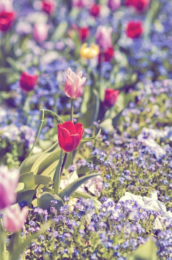 Le parterre de floraison avec les tulipes et les pancies rouges et roses fleurit Jardin d'agrément de ressort ou d'été photo libre de droits