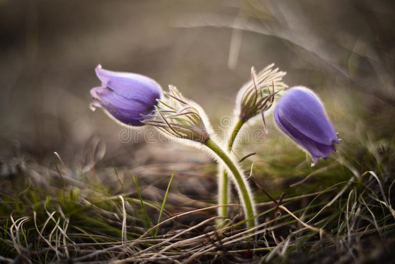 Le pasqueflower de ressort, ressort de vernalis de Pulsatilla fleurit I fermé images stock