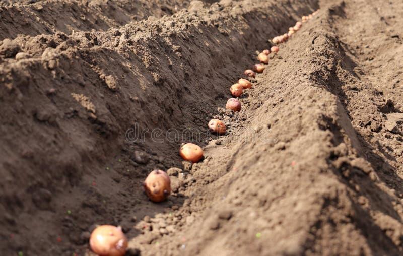 Le patate che sono germogliate sono seminate nella terra immagine stock