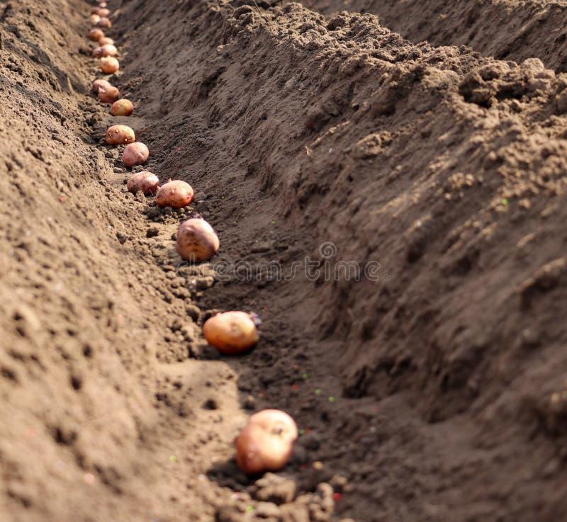 Le patate che sono germogliate sono seminate nella terra fotografia stock libera da diritti