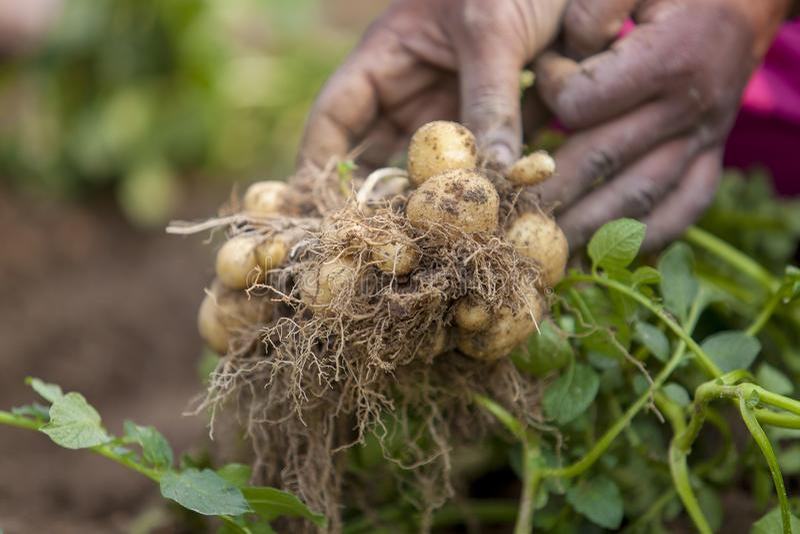 Le patate piene delle radici stanno mostrando un lavoratore in Thakurgong, Bangladesh fotografia stock