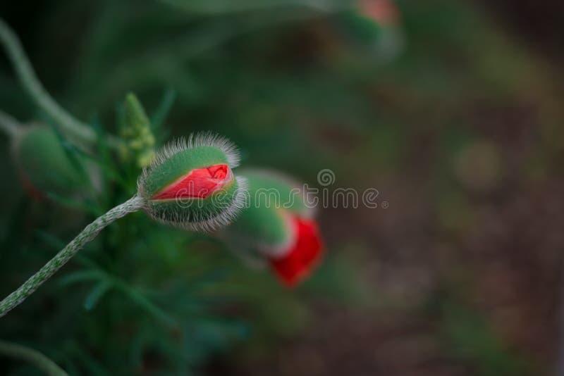 Le pavot pelucheux sensible bourgeonne dans un domaine sur la nature au soleil sur un macro vert clair de fond Fond d'été de ress photos stock